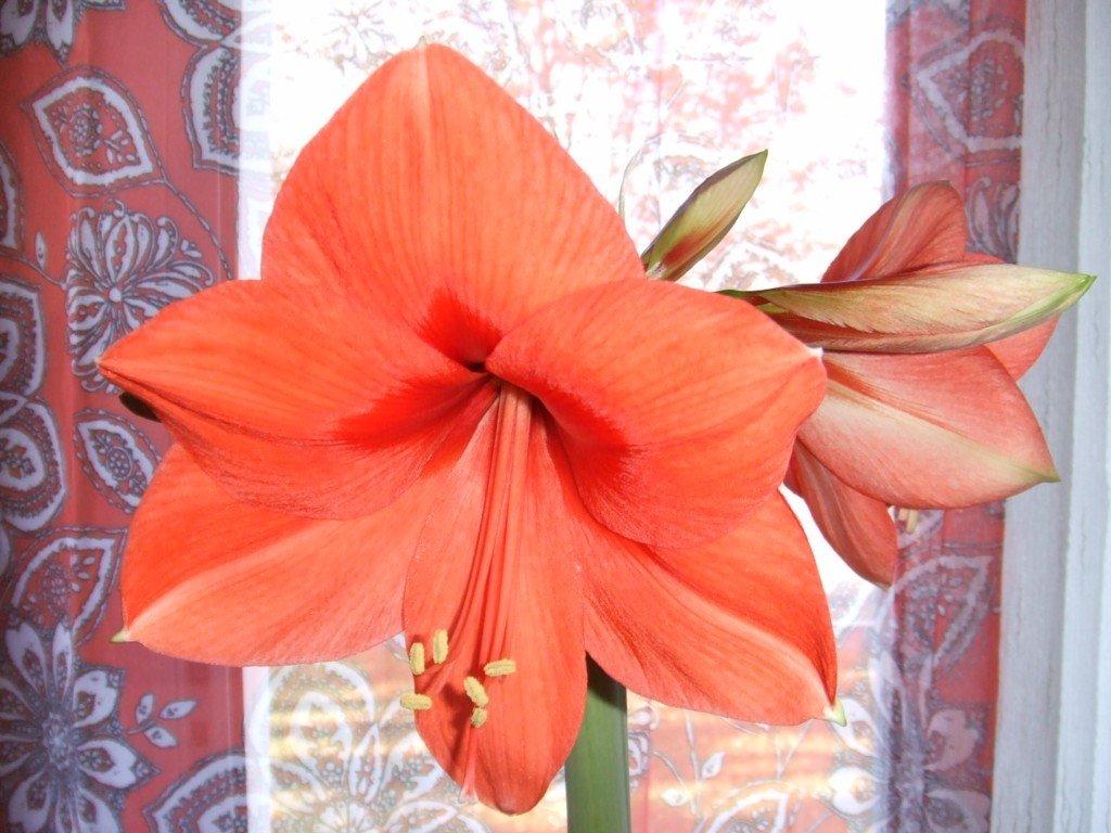 Velout de potimarron aux clats de noisettes at le blog d for Les amaryllis fleurs